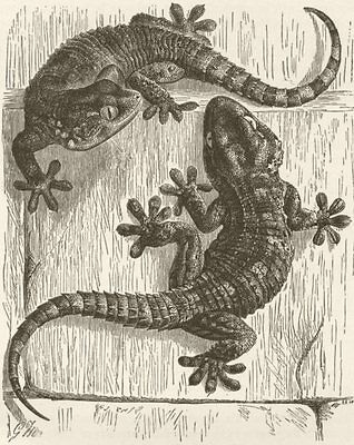 REPTILES. Wall-geckos 1896 old antique vintage print picture