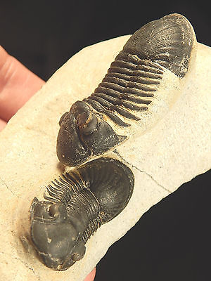 TWO PERFECT 100%Natural Paralejurus Rehamnanus Trilobite Fossils Morocco 289gr G