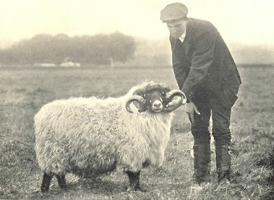 SHEEP. Rough Fell Ram 1912 old antique vintage print picture
