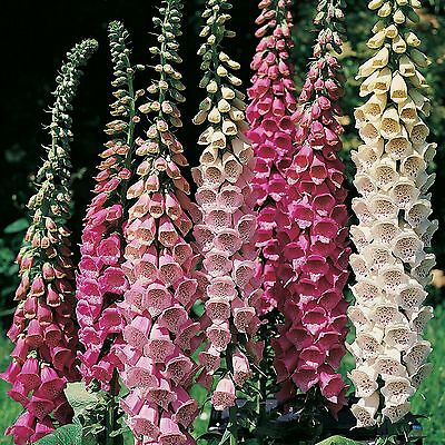 Pack Digitalis Foxglove 'Excelsior' Mixed Garden Flower Seeds King's Seed