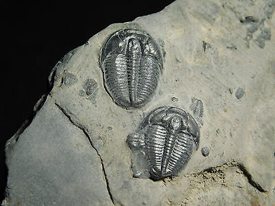 TWO PERFECT Little Utah Trilobite Fossils in Cambrian Era Matrix! 197gr *D