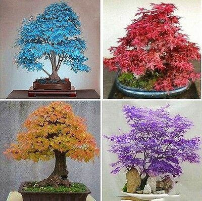 20pcs Japanese Maple Tree Bonsai Seeds Acer Palmatum Atropurpureum Home Plants F