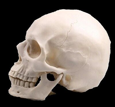 Nice White New Human Skull Replica Resin Model Medical Realistic lifesize 1:1