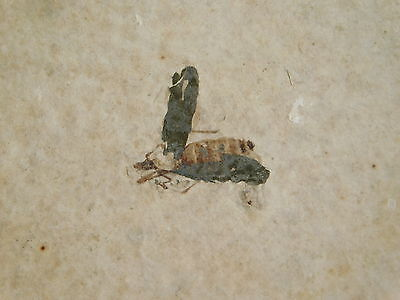 A Rare 100% Natural Hiodon Falcatus Fossil Fish and BEE FOSSIL! Wyoming 1140gr e
