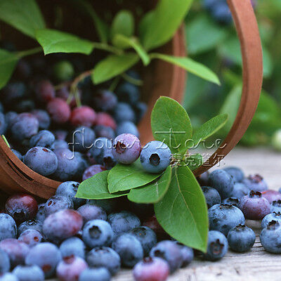 Mysterious Gift 100 Highbush Blueberry Seeds Edible Home-pick Fruit 3