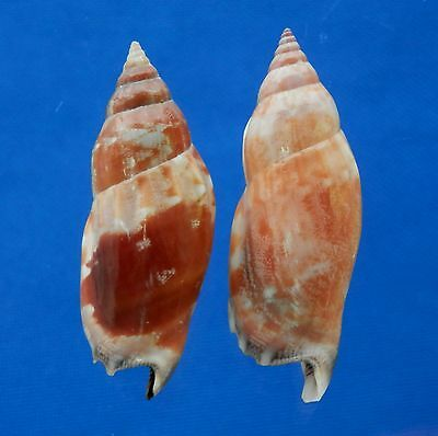 B121-49613 Seashell Tridentarius dentatus, 2 pcs.