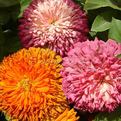 Stunning 200CALIFORNIA GIANT ZINNIA Seeds Favourite DIY Flower Garden 5
