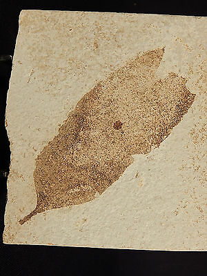 A Big WELL DEFINED 100% Natural 50 Million Year Old LEAF Fossil Wyoning 359.2