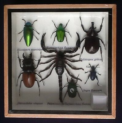7 Insect Display Scorpion Stag Beetle Cicada Taxidermy Insect Big Bug Entomology