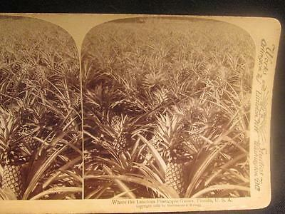 Florida USA Where the Luscious Pineapple Grows 1896 B&W Stereoview Image