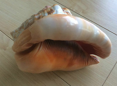 Large sea shell  for display fish tank shell collection - Gorgeous!