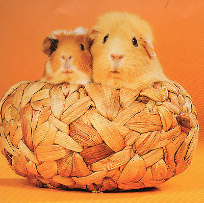 2 GUINEA PIGS in a basket, featured on a FRIDGE MAGNET