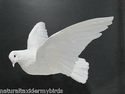 Flying White Dove Pigeon Real Bird Taxidermy Bird Mount
