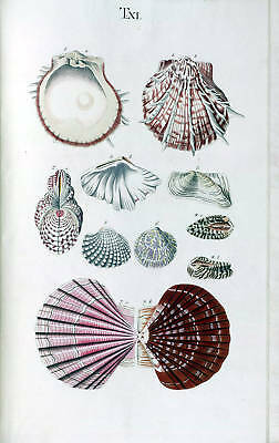 18th Century Natural History Print of Seashells #2
