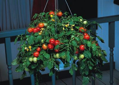 Pack Tomato Seed 'Tumbler F1' Kings Quality Vegetable Seeds