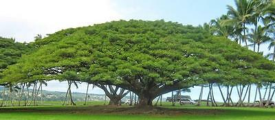 Monkey Pod Tree 5 Seeds, Rain Tree - Samanea saman - Magnificent bonsai
