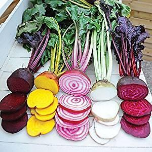 Rainbow Beetroot 50 Seeds- Exciting mix of colours and varieties ORGANIC