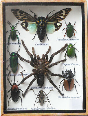 Real Tarantula Spider And Mix Insect Taxidermy In Boxed Display