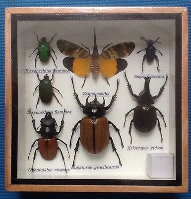 7 Insect Display Jewel Stag Beetle Cicada Taxidermy Insect Big Bug Entomology