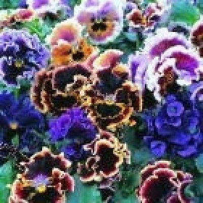 Pansy Flamenco Mix Seeds - Fully Fringed, DOuble Blooms