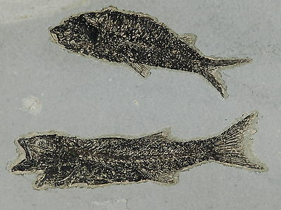 TWO Species! A Mioplosus Fossil Fish and A Knightia on Matrix Wyoming 2658gr e