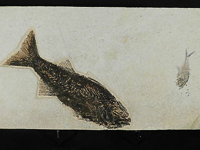 TWO Species! A Mioplosus Fossil Fish and A Diplomystus on BIG Matrix Wy 1840gr e