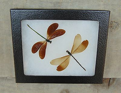 E346) Real Emerald Damselfly 4X5 framed dragonfly butterfly insect bug taxidermy