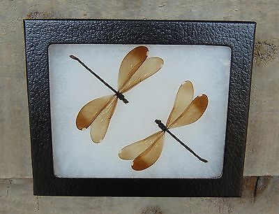 E347) Real Emerald Damselfly 4X5 framed dragonfly butterfly insect bug taxidermy