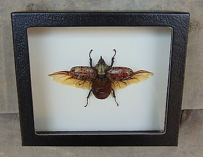 Real Eastern Hercules Beetle spread Dynastes 5X6 framed insect taxidermy USA bug