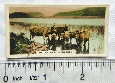 1924 Cavanders Homeland Series No. 39 In the West Highlands, Highland cattle