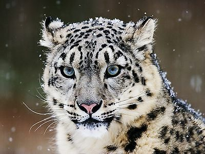 Snow Leopard / Wildcat 8 x 10 / 8x10 GLOSSY Photo Picture