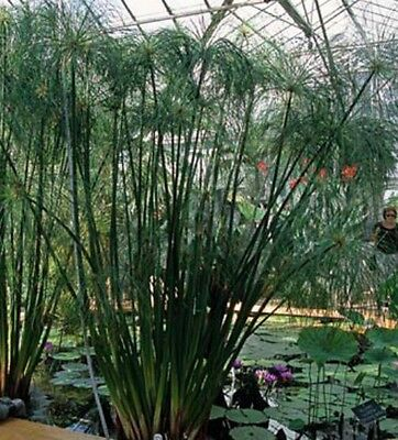 Cyperus Umbrella Plant Seeds- House or Pond Plant