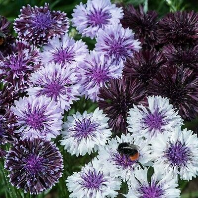 Pack Flower Seed Cornflower 'Classic Magic' King's Quality Seeds