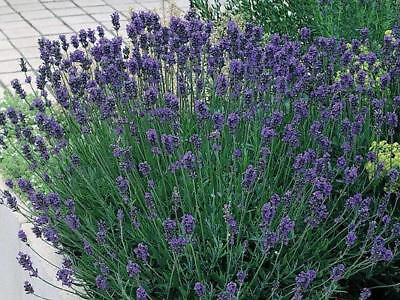 Pack Lavender 'Munstead' Perennial Flower Seeds Suffolk Herbs Seed Co