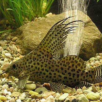 Live Tropical Aquarium Fish for Sale - Featherfin Synodontis
