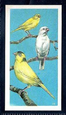 BROOKE BOND (SOUTH AFRICAN) OUR PETS 1967 No.31 THE CANARY