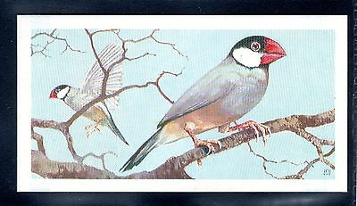 BROOKE BOND (SOUTH AFRICAN) OUR PETS 1967 No.36 THE JAVA SPAROW