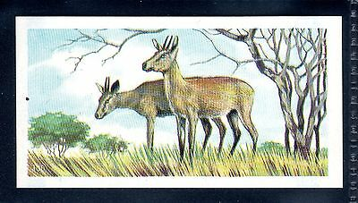 BROOKE BOND (SOUTH AFRICAN) OUR PETS 1967 No.45 THE DUIKER