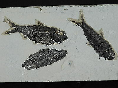 NICE SCALES! THREE 100% Natural Knightia Alta! Fossil Fish From Wyoming 685gr