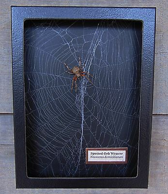 N6) Real Spotted Orb Weaver Spider on actual Web framed shadowbox taxidermy USA