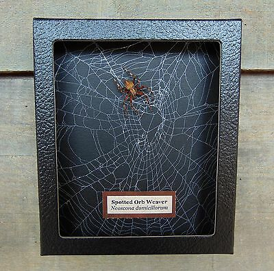 E550) Real Spotted Orb Weaver Spider on actual Web 5X6 framed taxidermy display