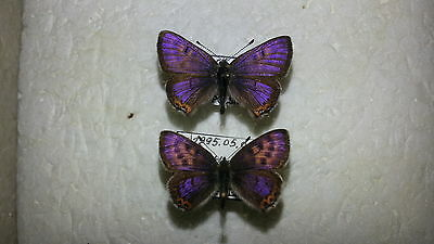 Lycaena helle from Poland Pair