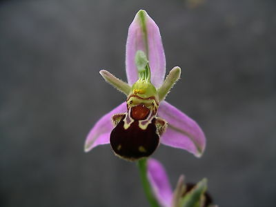 Hardy Orchid   Ophrys Apifera   ( Bee Orchid )  Flowering Size X 2