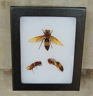 E358) Real Giant Banded Hornet Vespa 4X5 framed display insect bug Hymenoptera