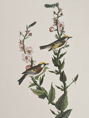 Audubon - Chestnut-sided Warbler. 59 - Birds of America Abbeville Edition FOLIO
