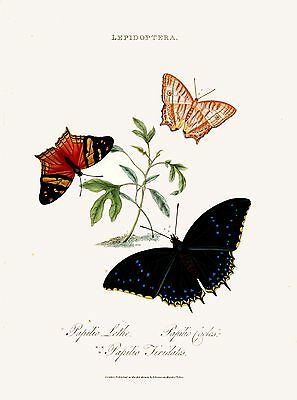 Repro Natural History Print of Butterflie #019