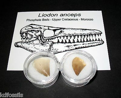 Cretaceous Liodon mosasaur marine reptile tooth fossil dinosaur age Morocco