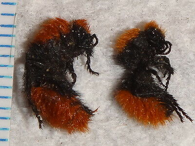 Hymenoptera Mutillidae 2 Dasymutilla specimens Red Velvet Ant Wasps CA Insect