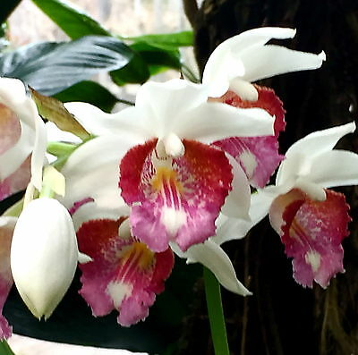 Phaius Species ´White Spring´ XL Pflanze Duft Orchidee Orchideen