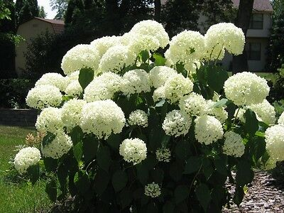Panicle Hydrangea Seeds -Showy,Heavy Blooms.Small Shrub
